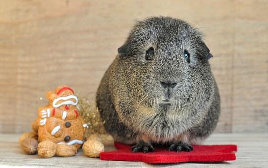 guinea-pig-668971__340
